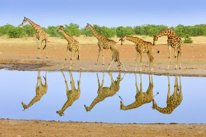 Group of giraffe near the water hole, mirror reflection in the still water, Etosha NP, Namibia, Africa. A lot of giraffe in the royalty free stock photography