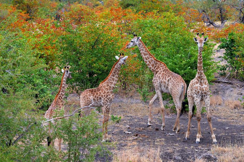 Group of giraffe near the water hole, orange autumn forest, Kruger NP, South Africa. A lot of giraffe in the nature habitat, royalty free stock image