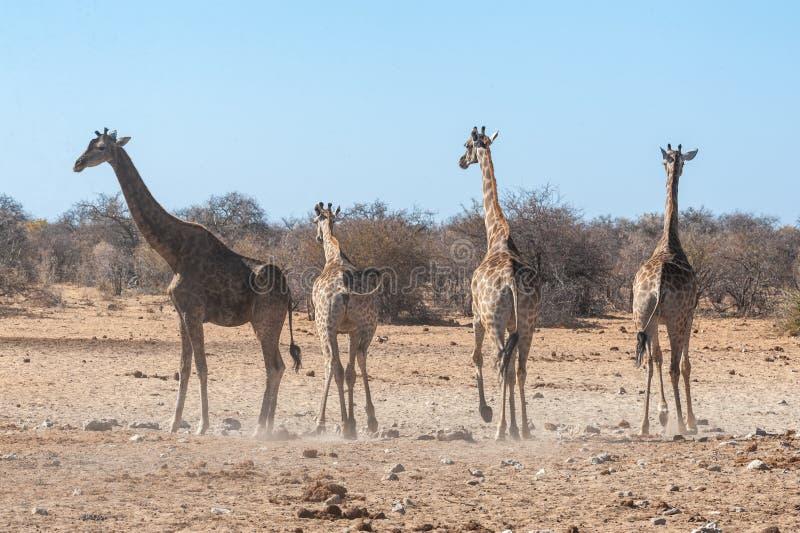 A group of Giraffes gathering near a waterhole in Etosha National Park. Four Angolan Giraffes - Giraffa giraffa angolensis walking nervously around a waterhole stock photos