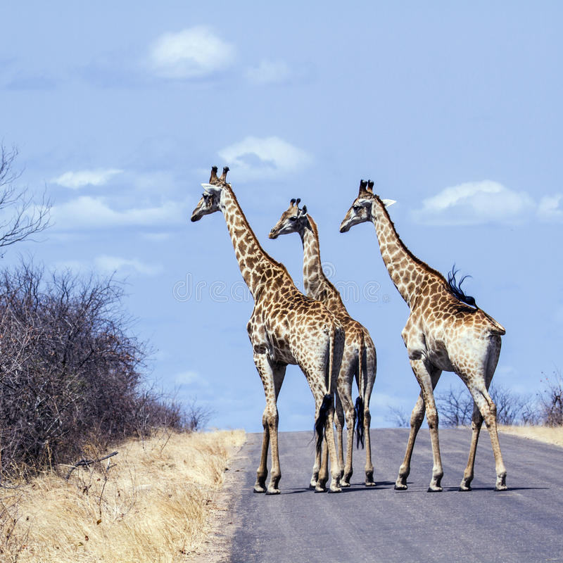 group of Giraffes in Kruger National park, in the road, South Africa royalty free stock photography