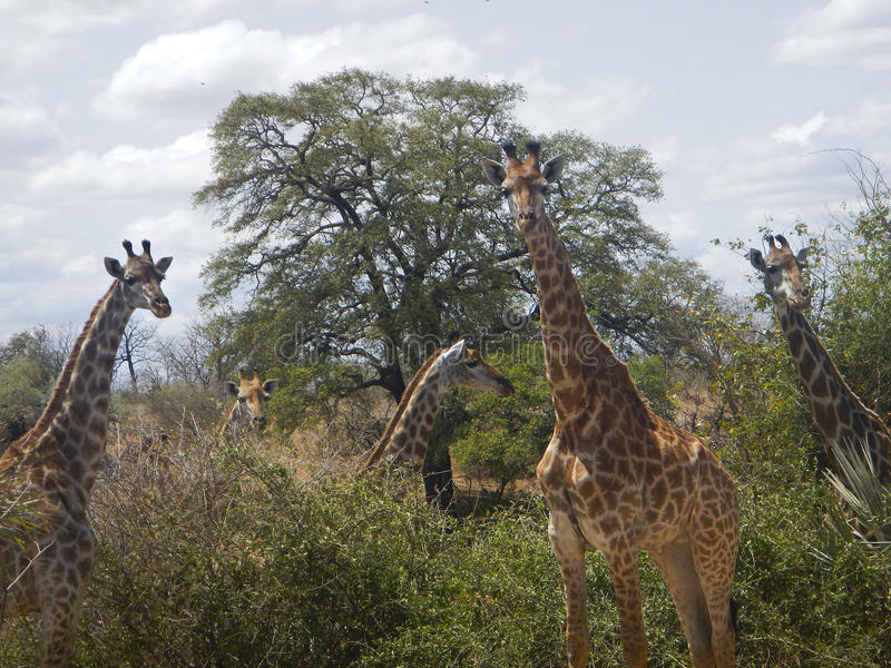 Group of giraffes in the middle of savannah , Kruger, South Africa stock photography