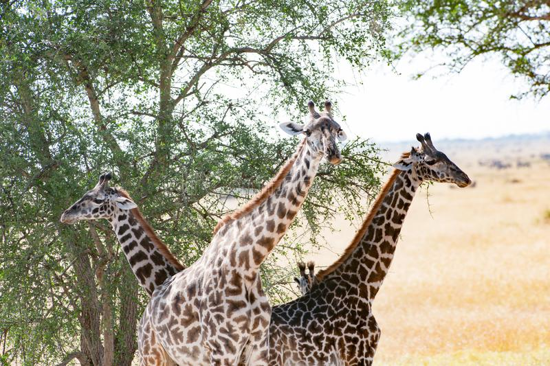 Giraffes under african camel thorn tree, Tanzania royalty free stock photography