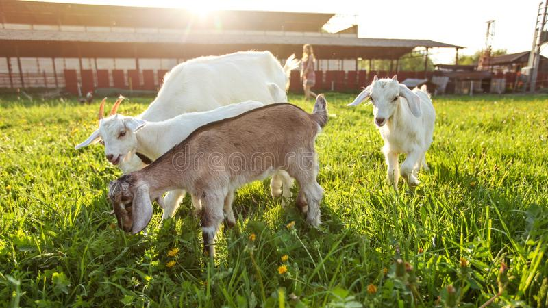 Group of goat kids grazing on farm meadow, young woman and strong backlight sun in background.  royalty free stock photo