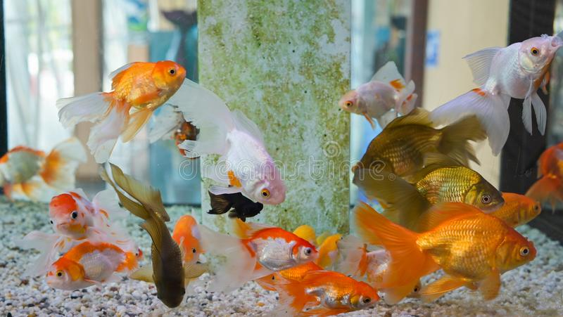 Group of gold fish swimming in Aquarium, Fish Tank, with Coral Reef, Animals, stock images