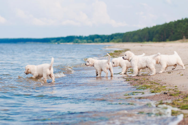 Download Group Of Golden Retriever Puppies At The Sea Royalty Free Stock Photos - Image: 31991278