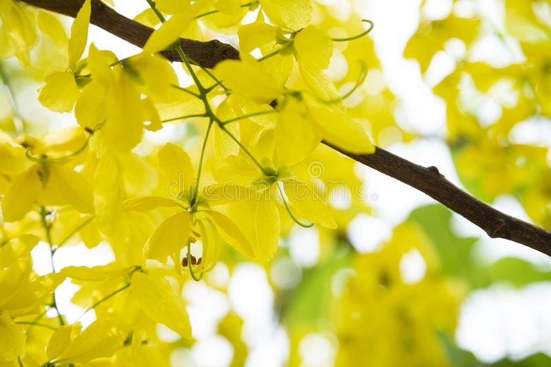 Golden Shower TreeCassia fistula is beauty yellow flower  in summer. A group of Golden Shower TreeCassia fistula are take photo in Khon Kaen, Thailand at summer royalty free stock images