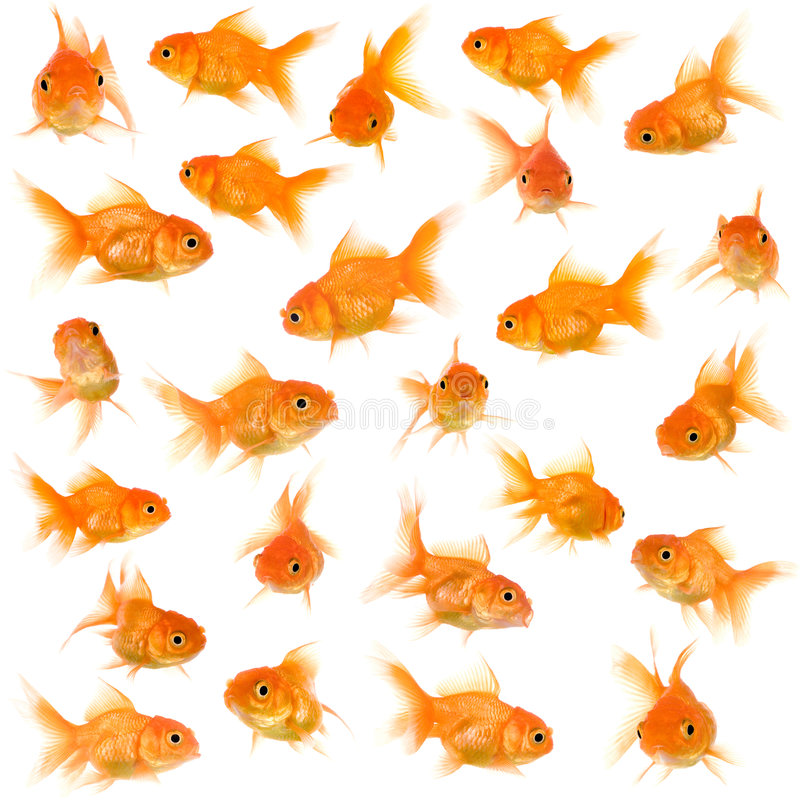 Group of goldfishes. Goldfish in front of a white background