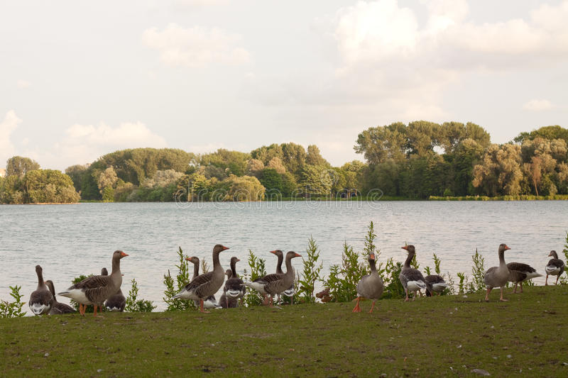 Download A group gooses stock photo. Image of trees, grass, landscape - 19779478