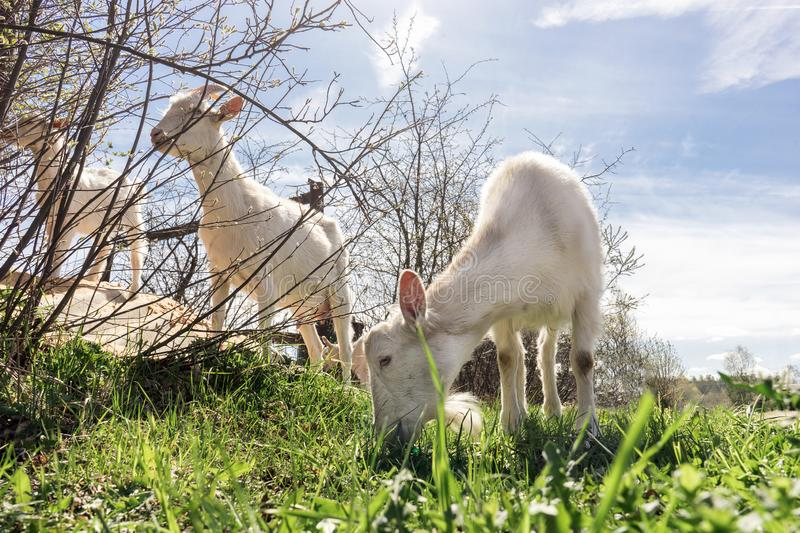 Group of grazing goats. herd of domestic animals chews juicy green spring grass and young shoots of bushes royalty free stock images