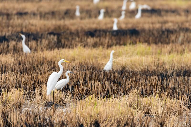 A group of Great Egrets isolated in burnt paddy field looking into a distance. Bangkok, Thailand stock images
