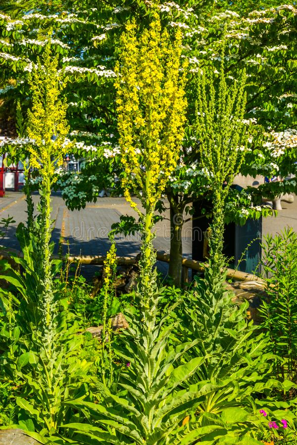 Group of great mullein plants together, popular large wild plants from europe. A group of great mullein plants together, popular large wild plants from europe stock images