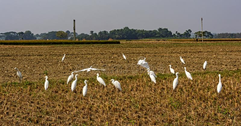 Group Of Great White Egrets. royalty free stock photo