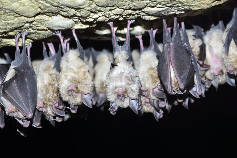 Group of Greater horseshoe bat Rhinolophus ferrumequinum stock photo