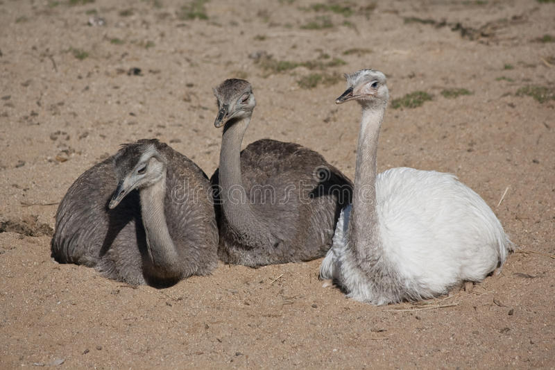 Group of greater rheas royalty free stock photography