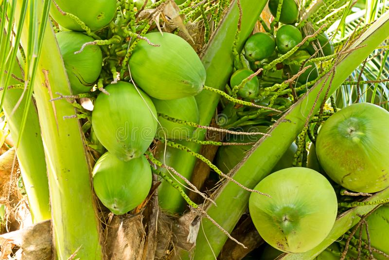 Group of green coconuts large and small tropical background on a background of trunk stock photography