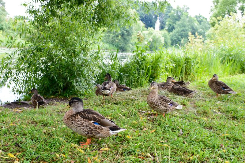 A group of green headed ducks stock images