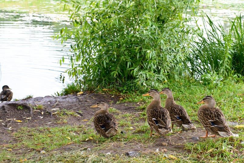 A group of green headed ducks stock photos