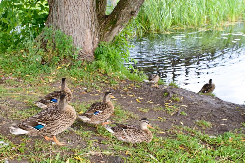 A group of green headed ducks royalty free stock photography