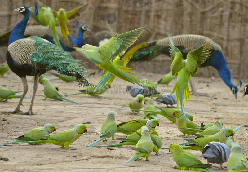 Group of green parrots and peacocks in Ranthambore National Park. Group of greenparrots and peacocks, some in flight, in Ranthambore National Park in the region stock photos