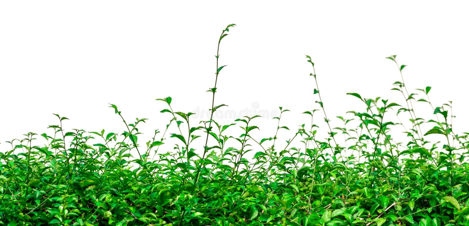 group of green plant isolated white background royalty free stock image
