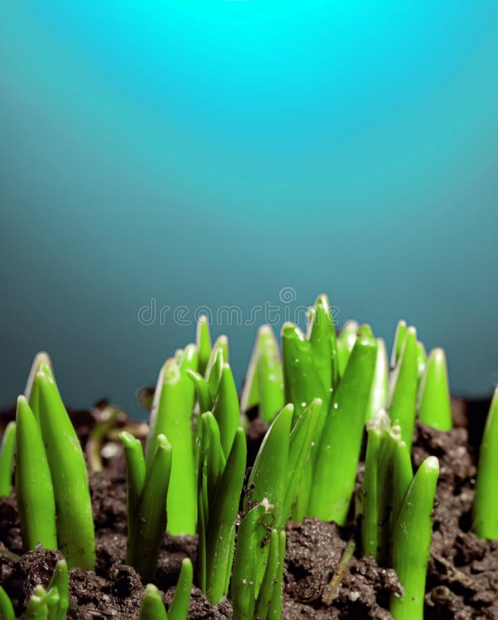 Group of green sprouts growing out from soil.  stock images