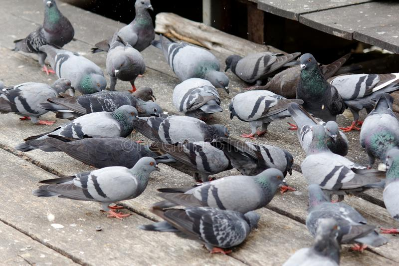 Group of grey pigeons eat seeds on wood floor. Background royalty free stock photo