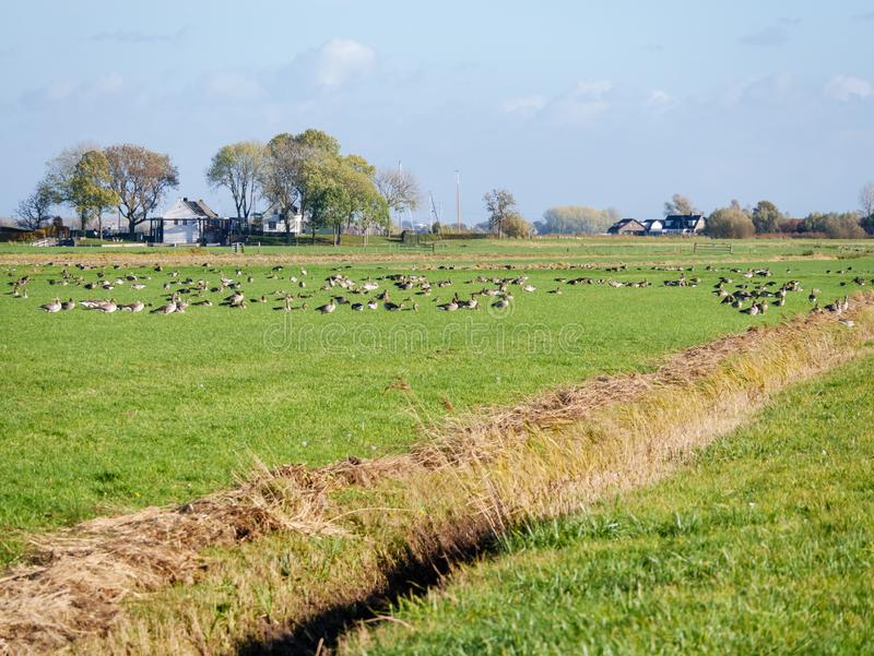 Group of greylag geese, Anser anser, and northern lapwings, Vane stock photography
