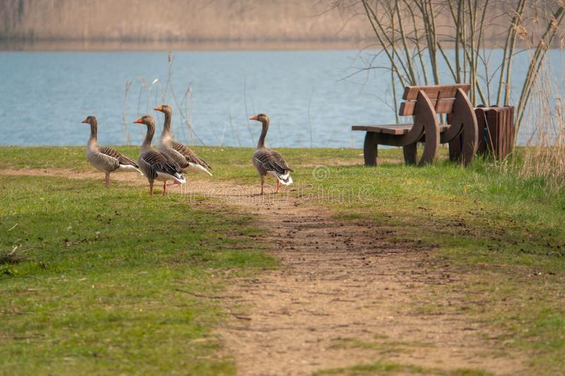 group of greylag geese standing on a path and chattering royalty free stock photography