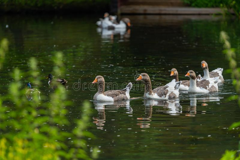 A group of Greylag geese swim happily in a pond royalty free stock photos