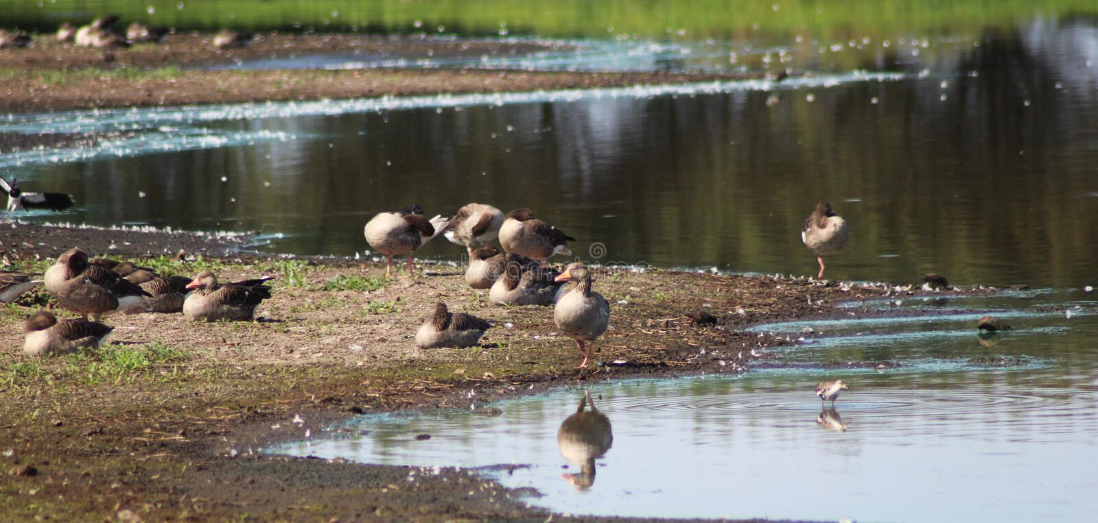 Group greylag gooses stock photography