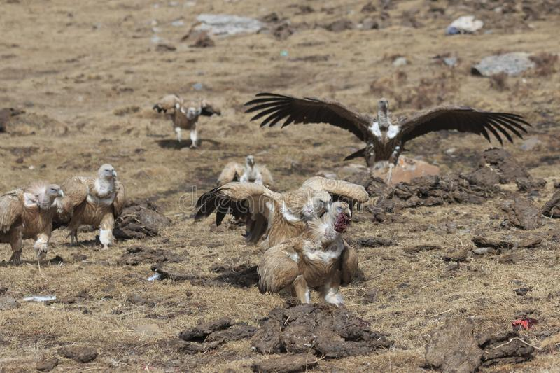 Group of Griffon Vulture Gyps fulvus in SiChuan, China.  royalty free stock photo