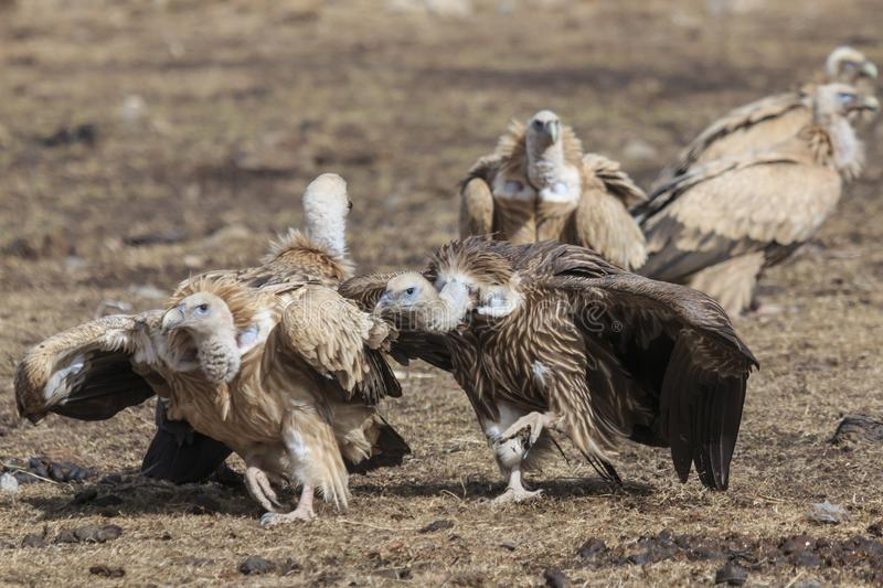 Group of Griffon Vulture Gyps fulvus in SiChuan, China.  stock image