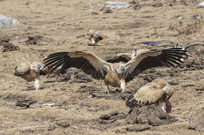 Group of Griffon Vulture Gyps fulvus in SiChuan, China.  stock photography