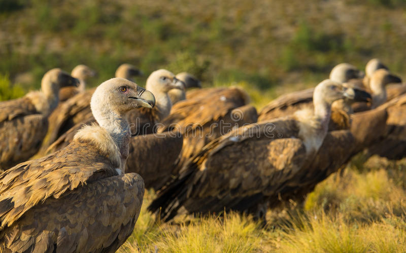 A group of Griffon Vultures resting on the ground stock photos