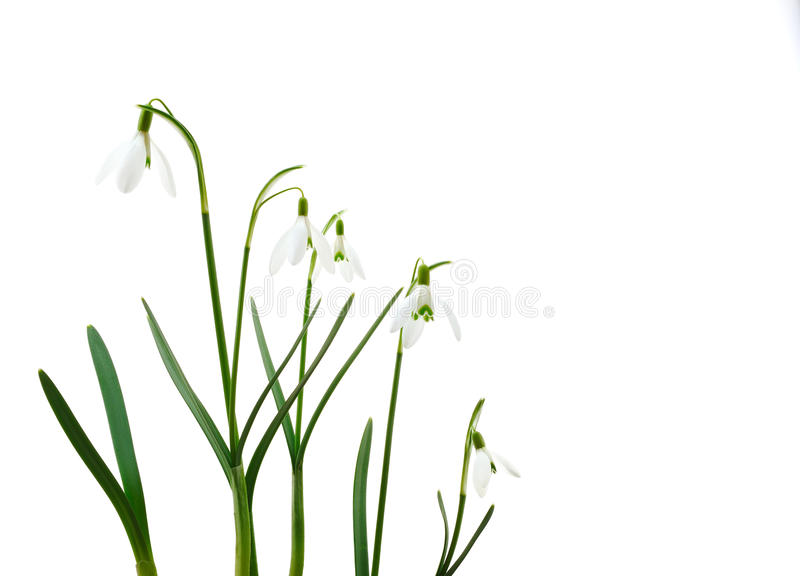 Group of growing snowdrop flowers isolated royalty free stock images