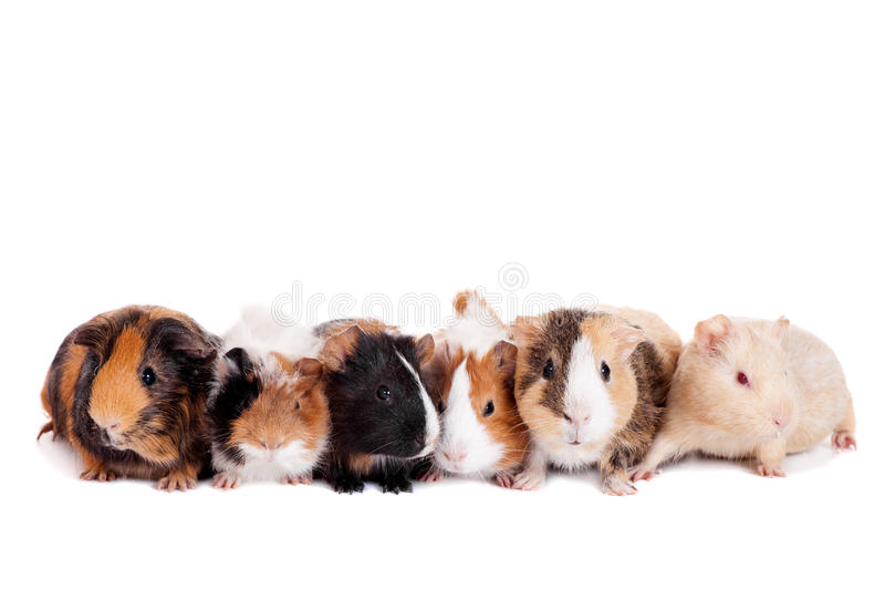 Group of 6 guinea pigs stock photos