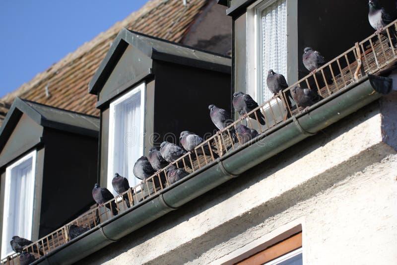 Group of happy wild Zebra Dove Having a Nap while Sunbathing at the Balcony during winter season royalty free stock photos