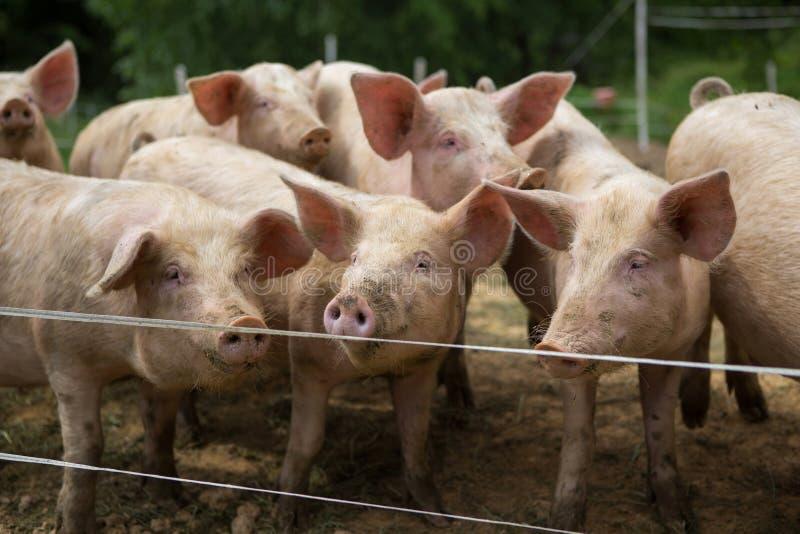 Herd of pigs at pig breeding farm stock photo