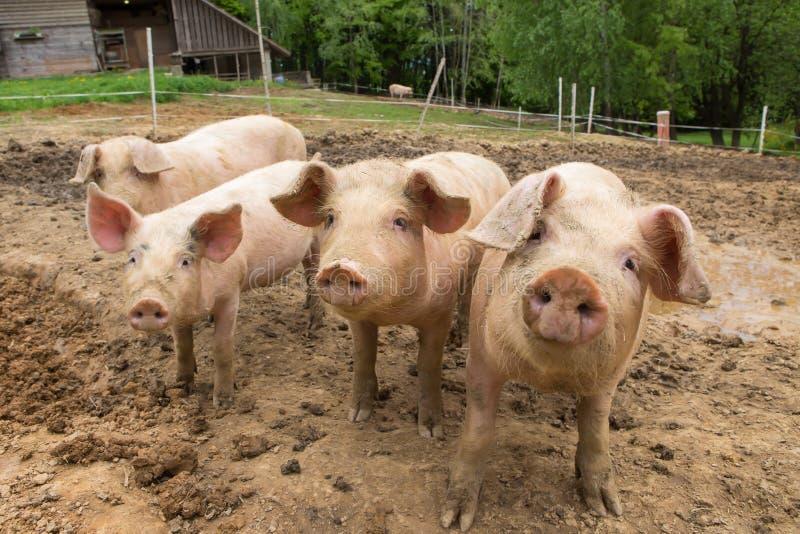 Herd of pigs at pig breeding farm stock image