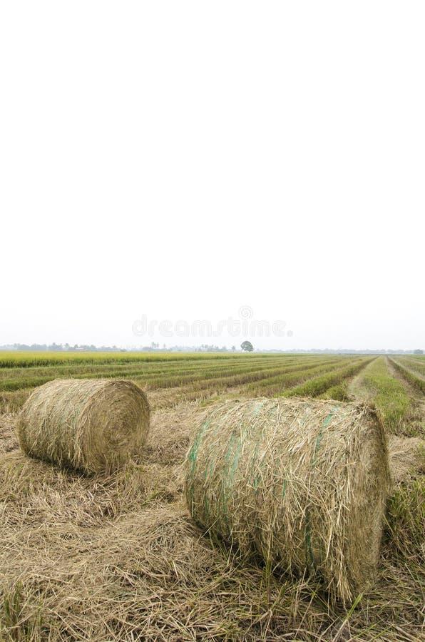 Haystacks on paddy filed after harvesting season stock image