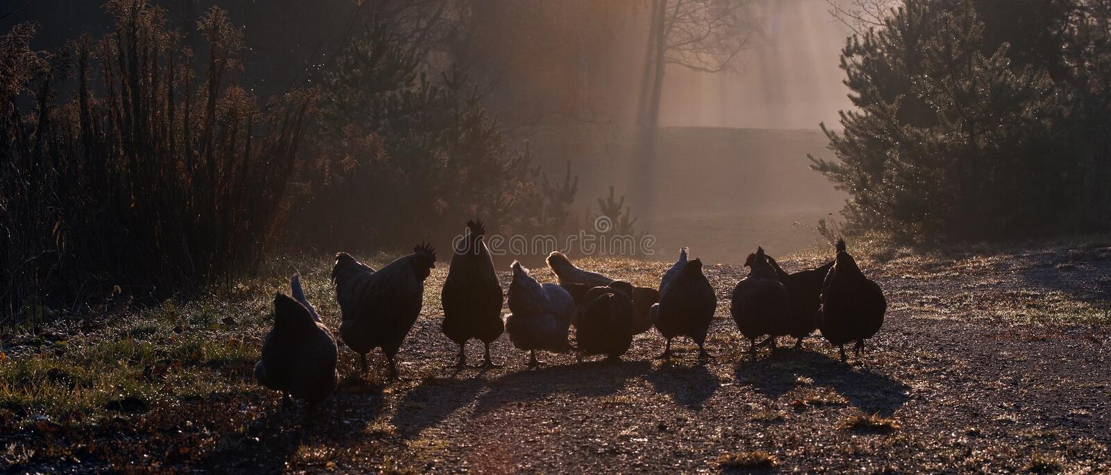 A group of hens, an early morning in autumn. A group of hens of the breed Hedemora, an early morning in autumn in Sweden royalty free stock image