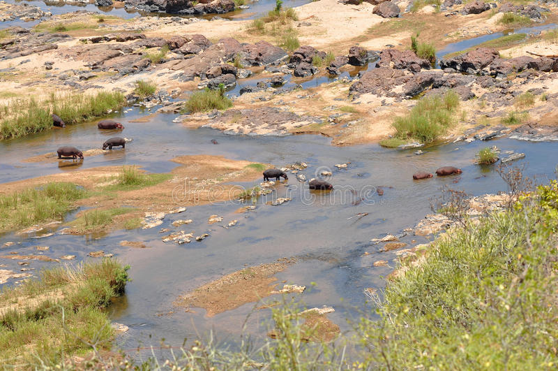 Download Group of hippos stock image. Image of herd, conservation - 12147621