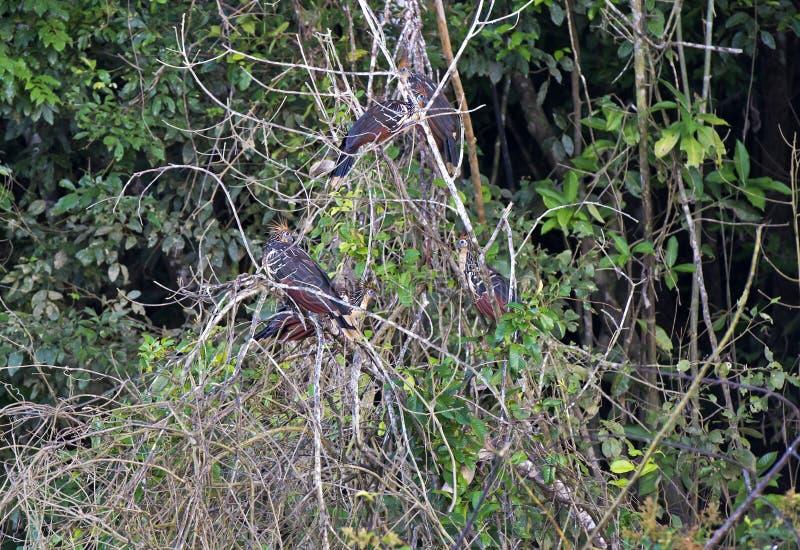 Group of Hoatzin birds. (Opisthocomus hoazin), Amazon rainforest, Peru stock photo