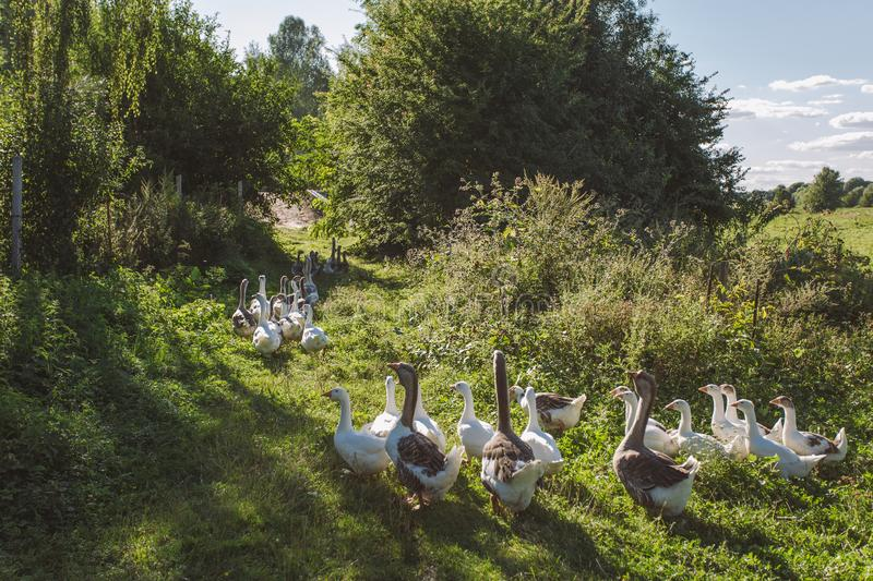 Group of home geese coming back home in evening. After being feeding all day on pasture in field or meadow. Eco farming concept. Horizontal color image stock image