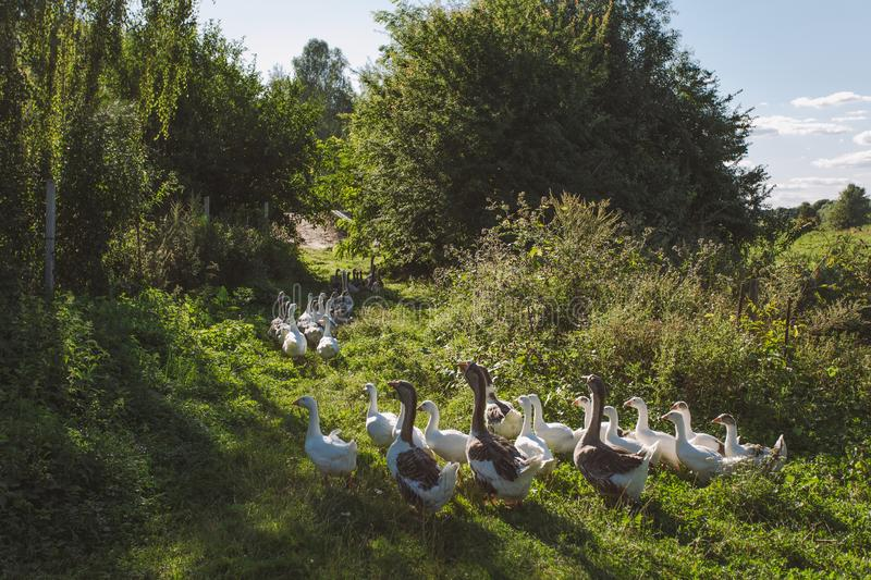 Group of home geese coming back home in evening. After being feeding all day on pasture in field or meadow. Eco farming concept. Horizontal color image royalty free stock photography