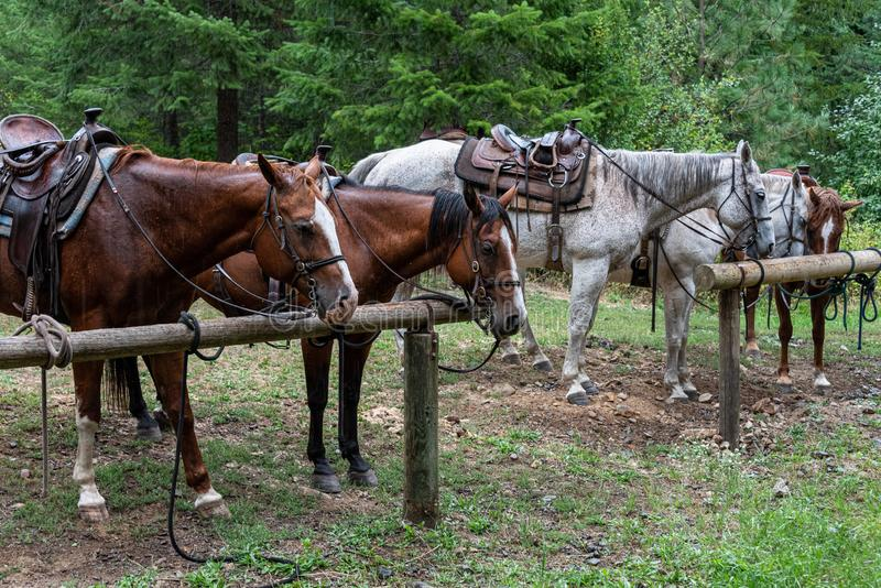 Group of horses saddled and bridled up and taking a break from a trail ride, tied up to wood hitching posts in the rain royalty free stock images
