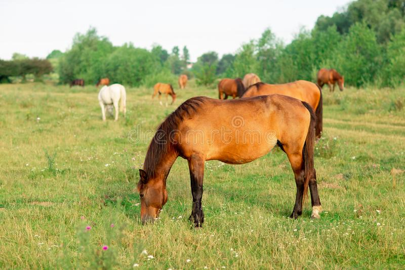 Group of horses in a summer pasture, in the countryside stock photography