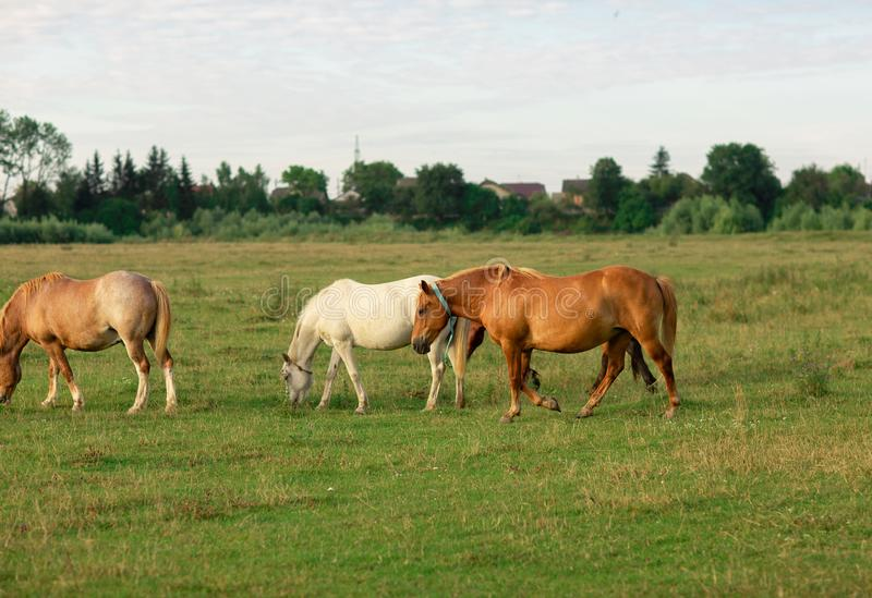 Group of horses in a summer pasture, in the countryside stock image