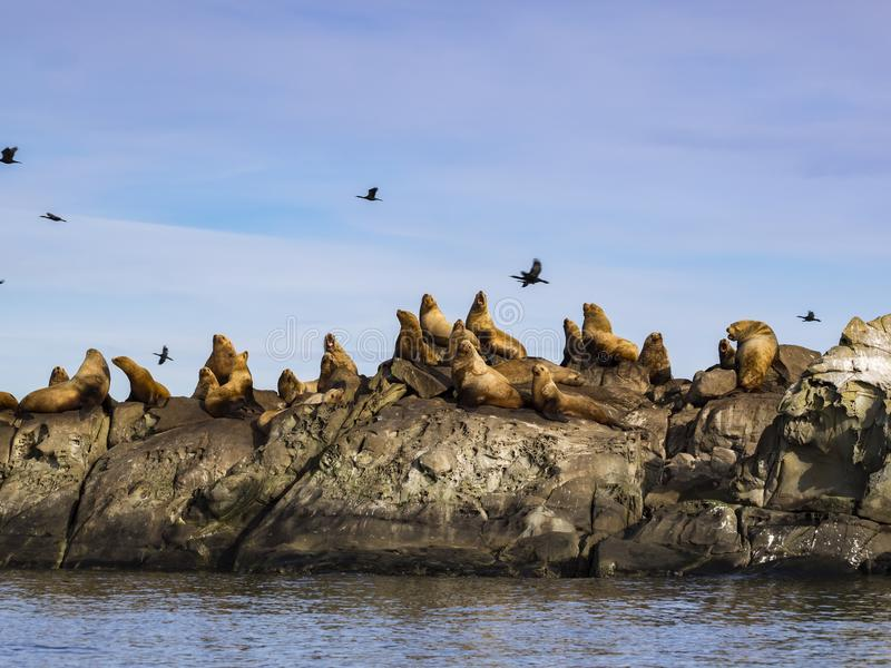 Herd of Steller Sea Lions Eumetopias jubatus. A group of huge male Steller Sea Lions photographed in Southern British Columbia royalty free stock photos