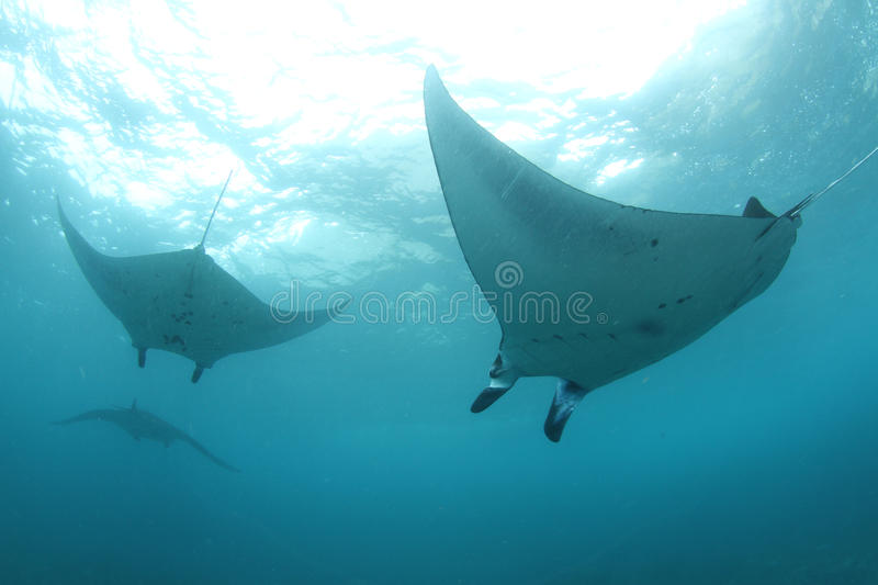 A group of huge mantas. Massive manta rays swimming in formation stock image